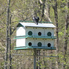Purple Martins and Home at Visitor Center - Table Rock State Park, Pickens, SC