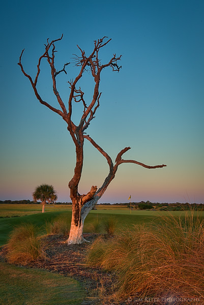 The famous tree that Rory McIlroy's ball got stuck in, during the 2012 PGA Championship at Kiawah Island, South Carolina.