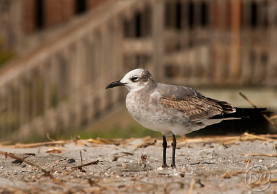 Laughing Gull near the pier Folly Beach, SC
