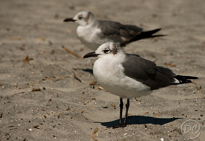 Pair of Laughing Gulls Folly Beach, SC