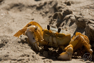 yellow crab on Folly Beach