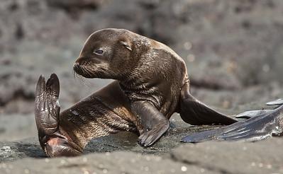 Galapagos: Fur Seal Pup