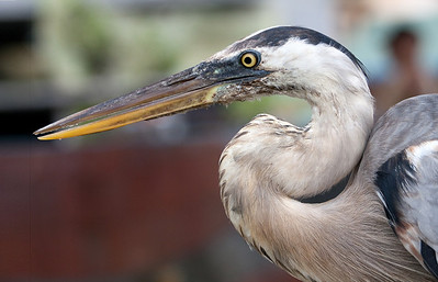 Galapagos: Great Blue Heron