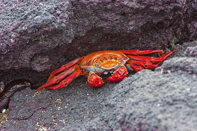 Galapagos: Sally Lightfoot Crab