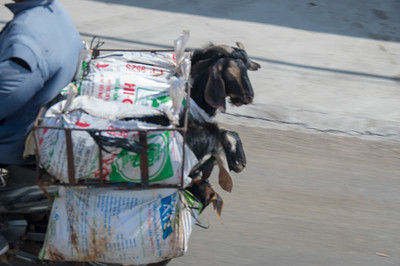 Goats on a scooter
