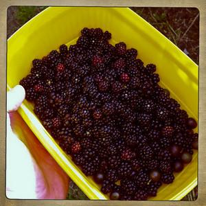 Blackberries and sloes.