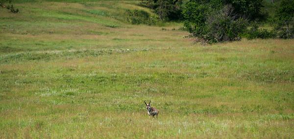 Pronghorn, Wildlife Loop