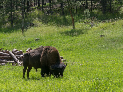 Lone bull bison, Needles Highway