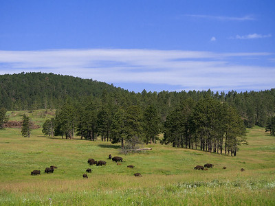 Bison herd along Wildlife Loop drive