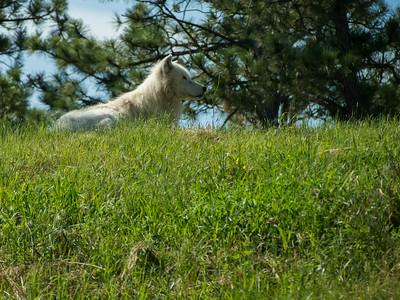 Arctic wolf, Bear Country USA