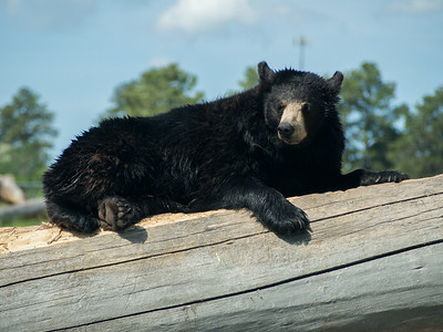 Black bear, Bear Country USA