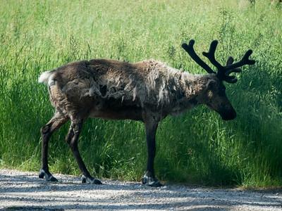 Elk, Bear Country USA