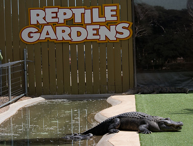 Alligator show at the Reptile Gardens