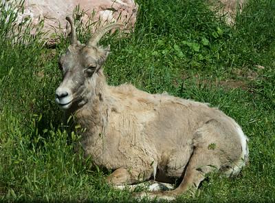 Big horn sheep, Bear Country USA