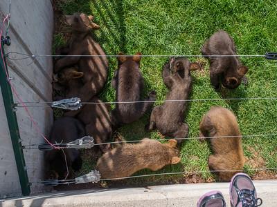 Bear cubs, Bear Country USA