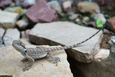 Some kind of lizard, Reptile Gardens