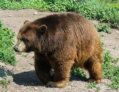 Brown bear, Bear Country USA