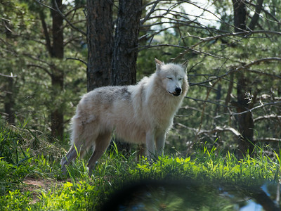Arctic wolf, Bear Country USA