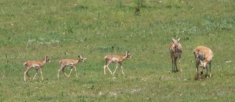 Antelope in South Dakota