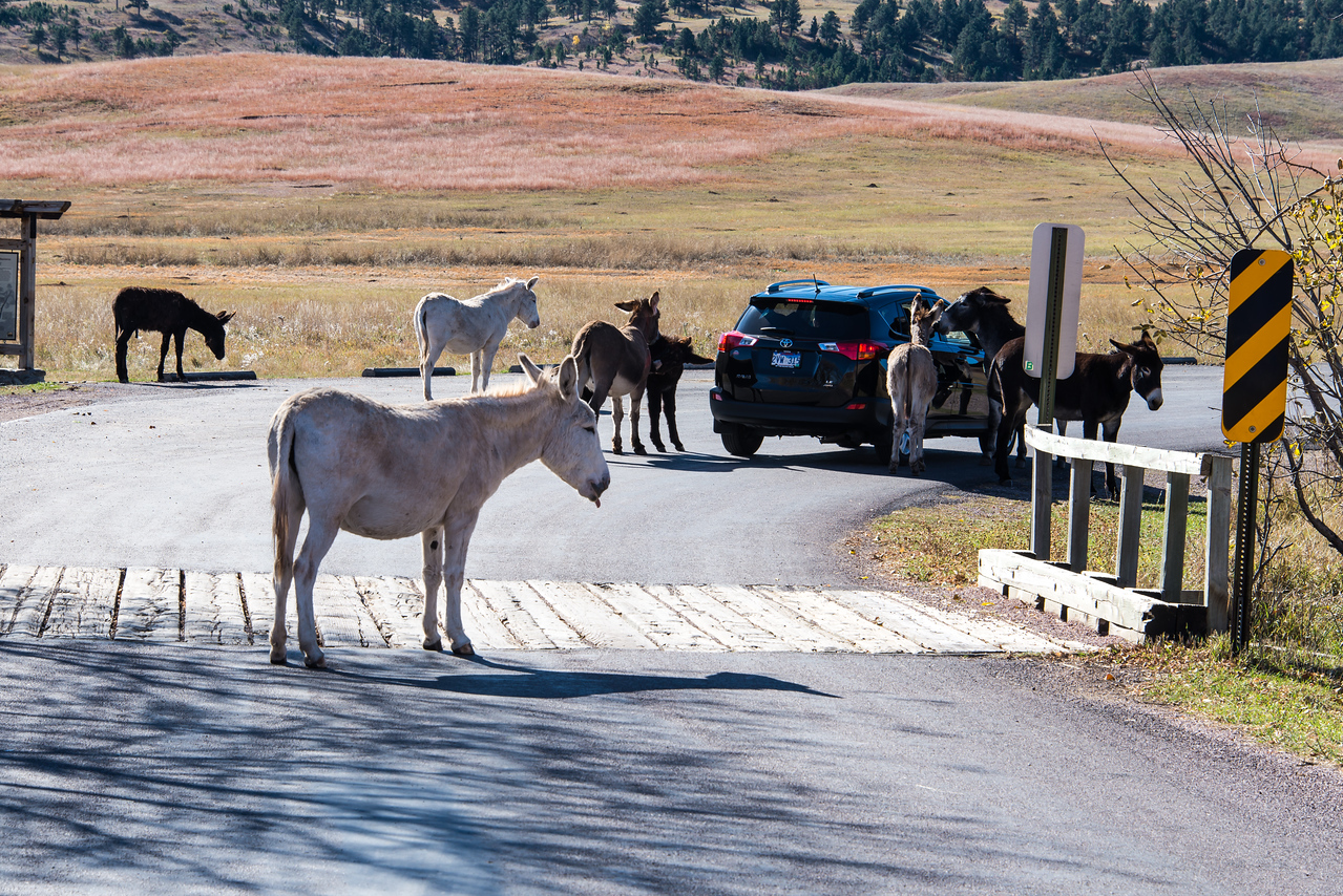 Wild Burros in Custer State Park, South Dakota - October 2014