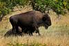 Buffalo 002