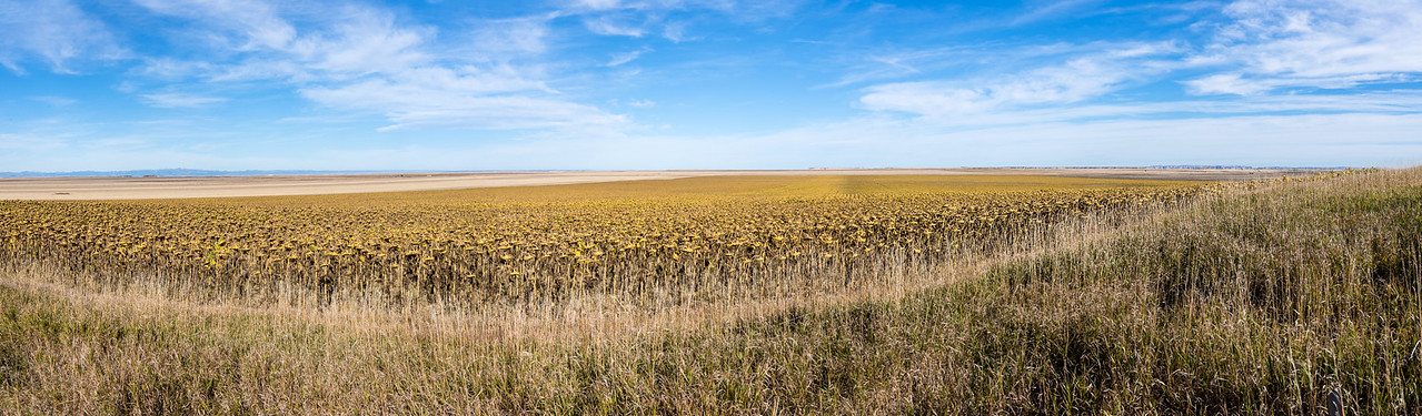 Dying Sunflowers near Southern entrance to Badlands National Park, South Dakota - October 2014