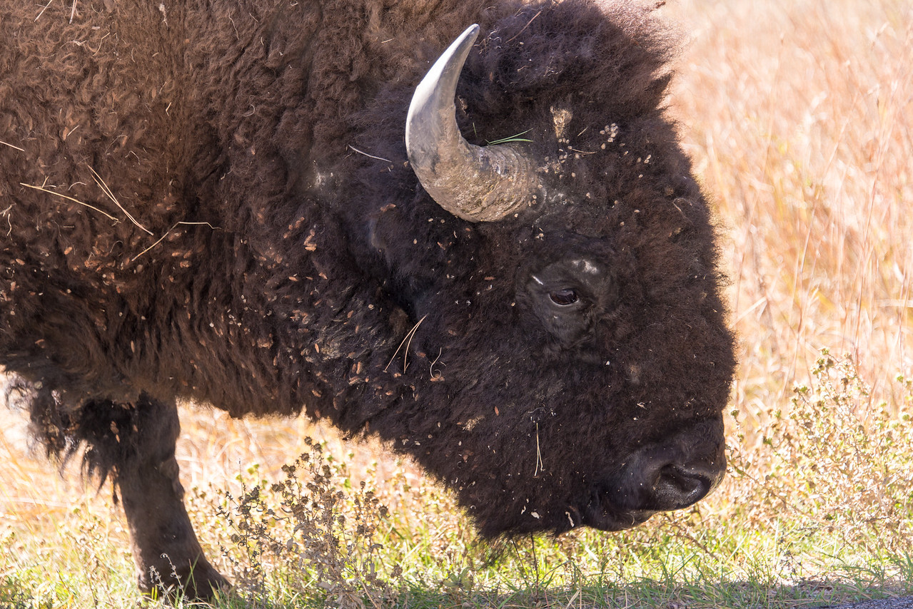 Buffalo in Custer State Park, South Dakota - October 2014