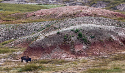 Bison, Badlands