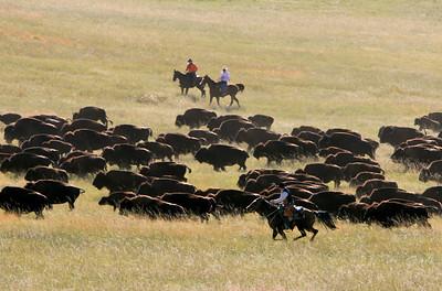 Buffalo Roundup 004