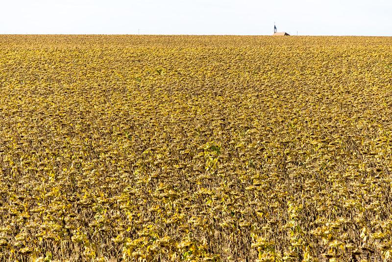 Dying Sunflowers near Southern entrance to Badlands National Park, South Dakota - October 2014