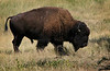 Buffalo 003