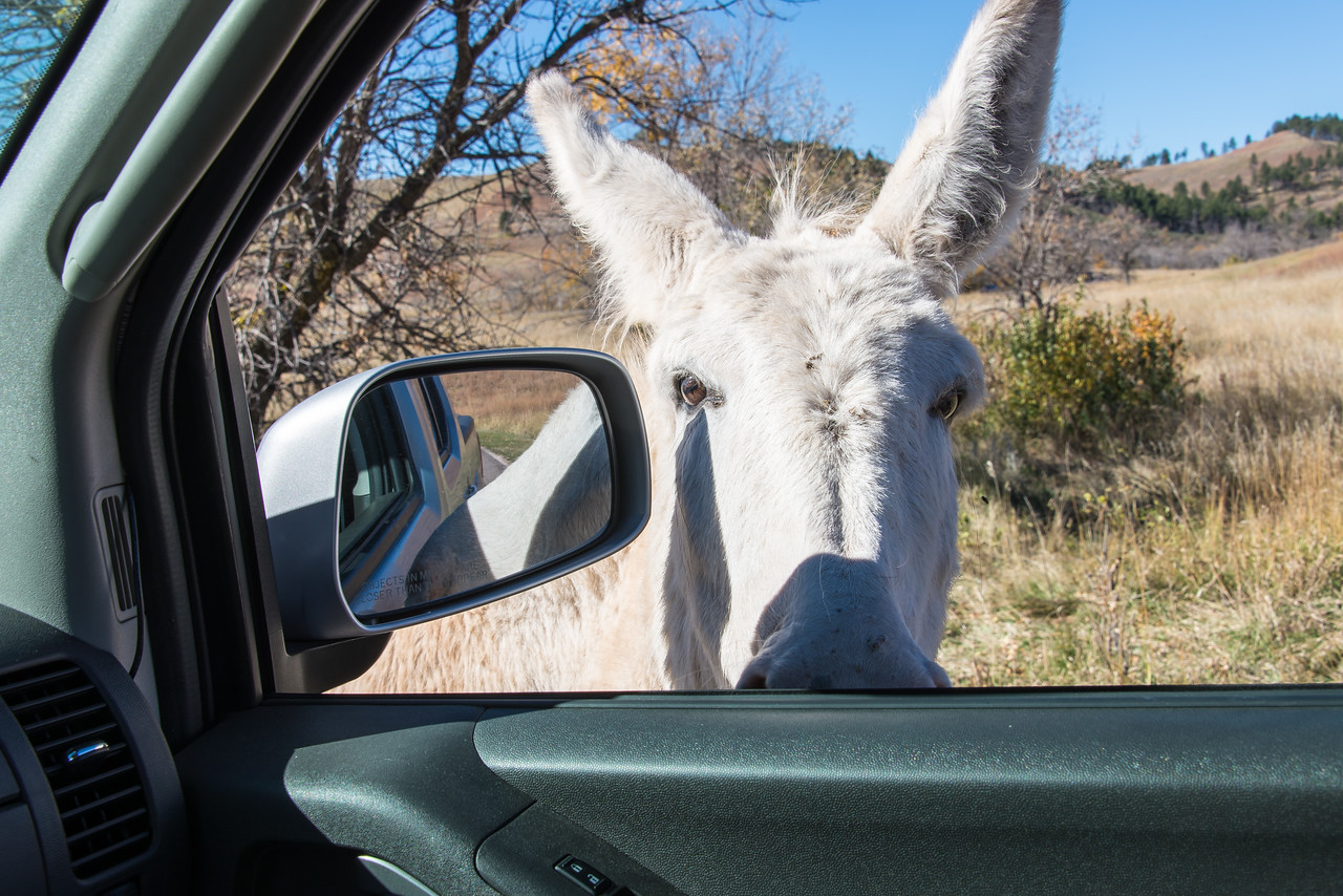 Wild Burros seeking handout in Custer State Park, South Dakota - October 2014