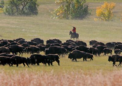 Buffalo Roundup 002