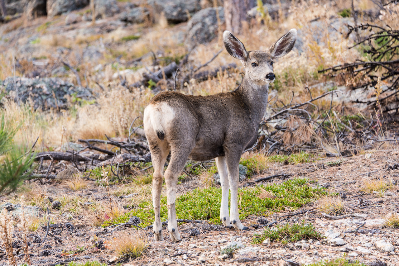 Deer in Custer State Park, South Dakota - October 2014
