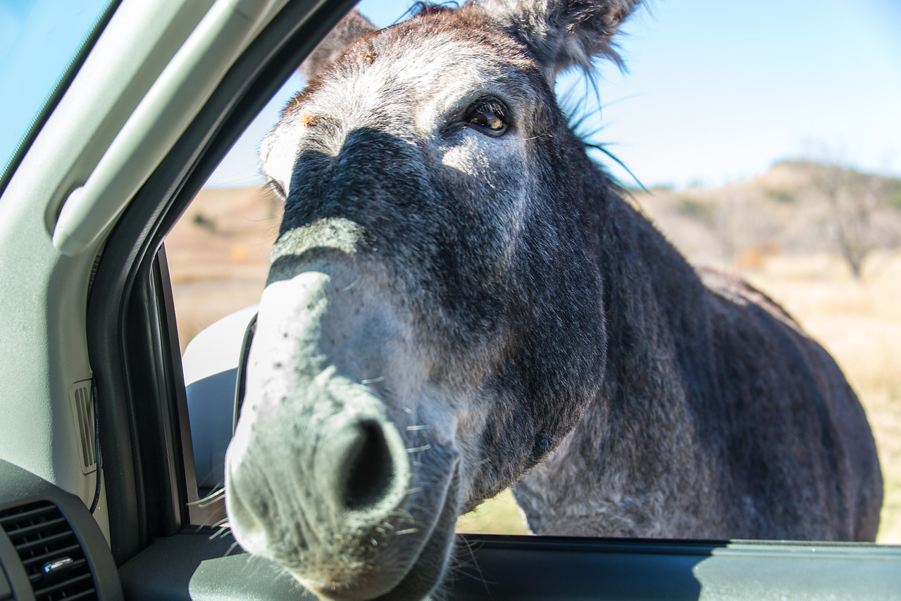 Wild Burro seeking handout in Custer State Park, South Dakota - October 2014
