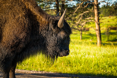 Bison of Custer State Park