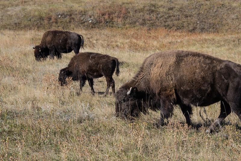 Grazing Buffalo in Custer State Park, South Dakota - October 2014