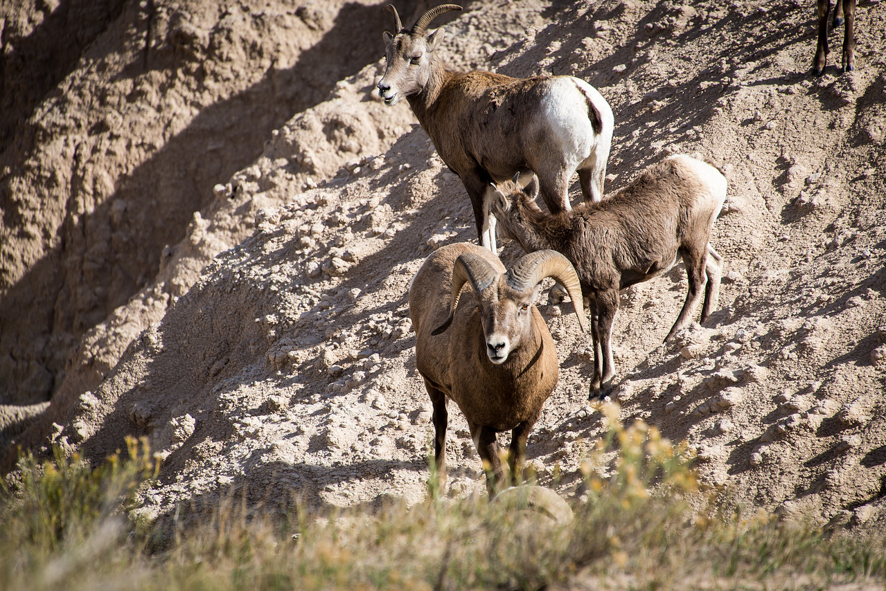 Bighorn Sheep in Badlands National Park, South Dakota - October 2014