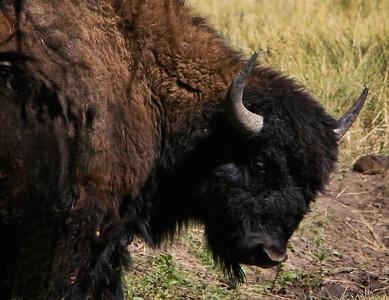 Buffalo 001