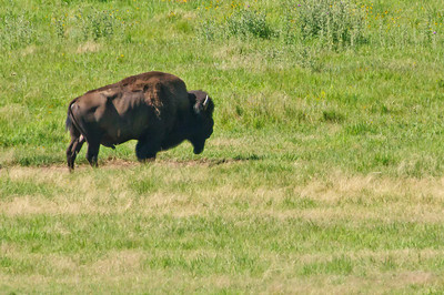 Lone Bison at Wind Cave National Park
