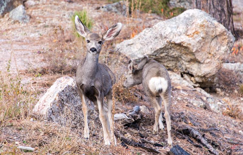 Deer eyeballing me in Custer State Park, South Dakota - October 2014