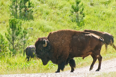 Large bull bison in Custer State Park