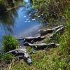 Sun-bathing Alligators.