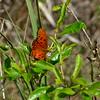 Gulf Fritillary Butterfly.
