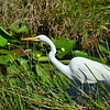 Great Egret is hunting.