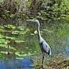 Great Blue Heron hunting too.