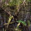 Corkscrew Swamp vegetation.<br /> January 16, 2015