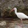 White Ibis at Pigeon Key.