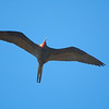 Magnificent Frigatebird (male with inflatable red pouch) soaring above Dry Tortugas.