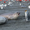 Elephant seal and king penguin interaction
